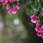 De bougainvillea, zijn bloemen zijn even exotisch als zijn naam